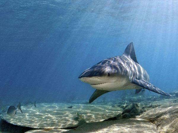 Skydda sig mot hajar tjurhaj