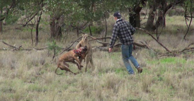 känguruboxning