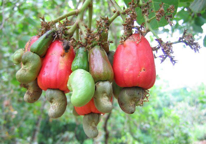farlig mat cashewnötter